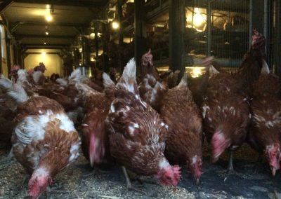 Im mobilen Hühnerstall auf dem Köstershof